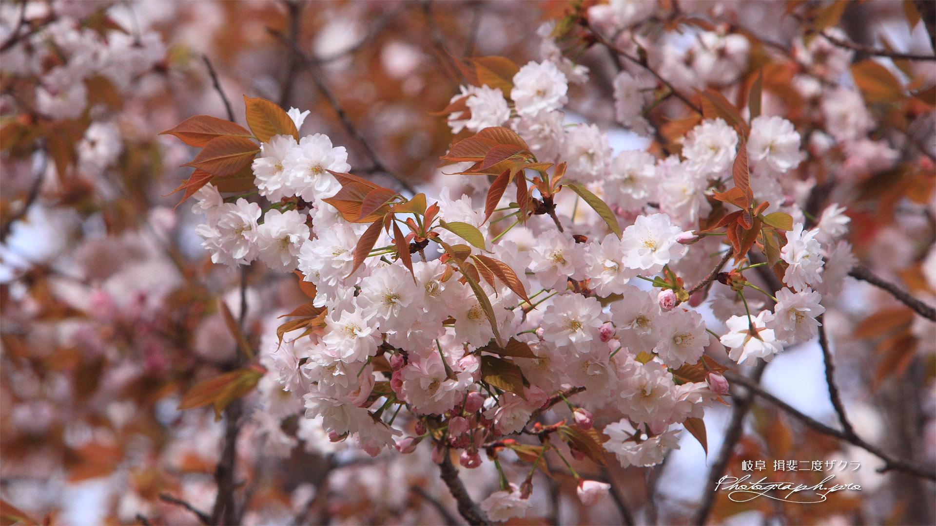 揖斐二度ザクラ(八重咲き)