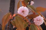 揖斐二度ザクラ(二段咲き)