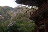 甘南美寺の桜