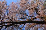 稲荷山の紅山桜