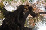 稲荷山のベニヤマザクラの樹幹