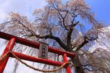 下市毛八坂神社しだれ桜