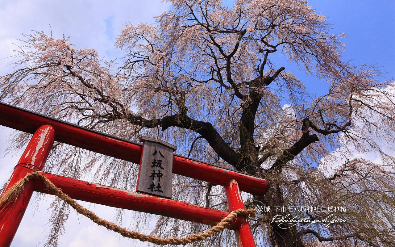 下市毛八坂神社しだれ桜 壁紙