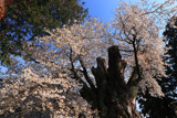 鹿嶋八幡神社の山桜