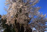 鹿嶋八幡神社のヤマザクラ