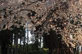 額田神社の山桜