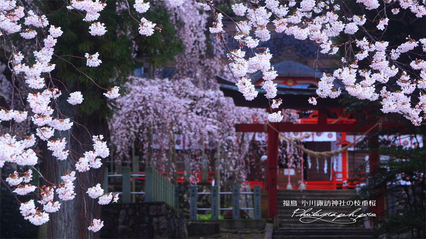 小川諏訪神社の枝垂桜 壁紙