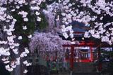 小川諏訪神社の枝垂桜