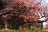 再会の西山辰街道の大桜