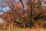 ヤマタノオロチのような西山辰街道の大桜