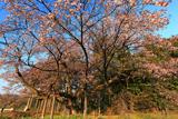 超広角で西山辰街道の大桜