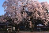 崇真寺 栃木県の桜の名所100選