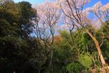 長命寺のヤマザクラ林叢