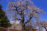 観音寺の枝垂れ桜