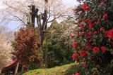 法善寺の枝垂れ桜