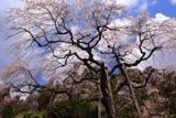 青木のしだれ桜