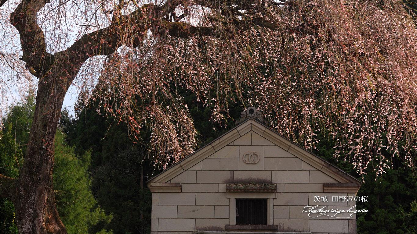 田野沢の桜 壁紙