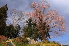 舘の下の桜