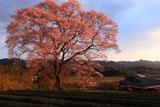 上岡のエドヒガン桜