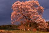 上岡の江戸彼岸桜