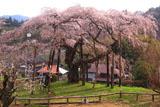 小生瀬宿のしだれ桜