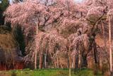 小生瀬の地蔵桜