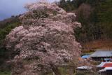 中郷の江戸彼岸桜