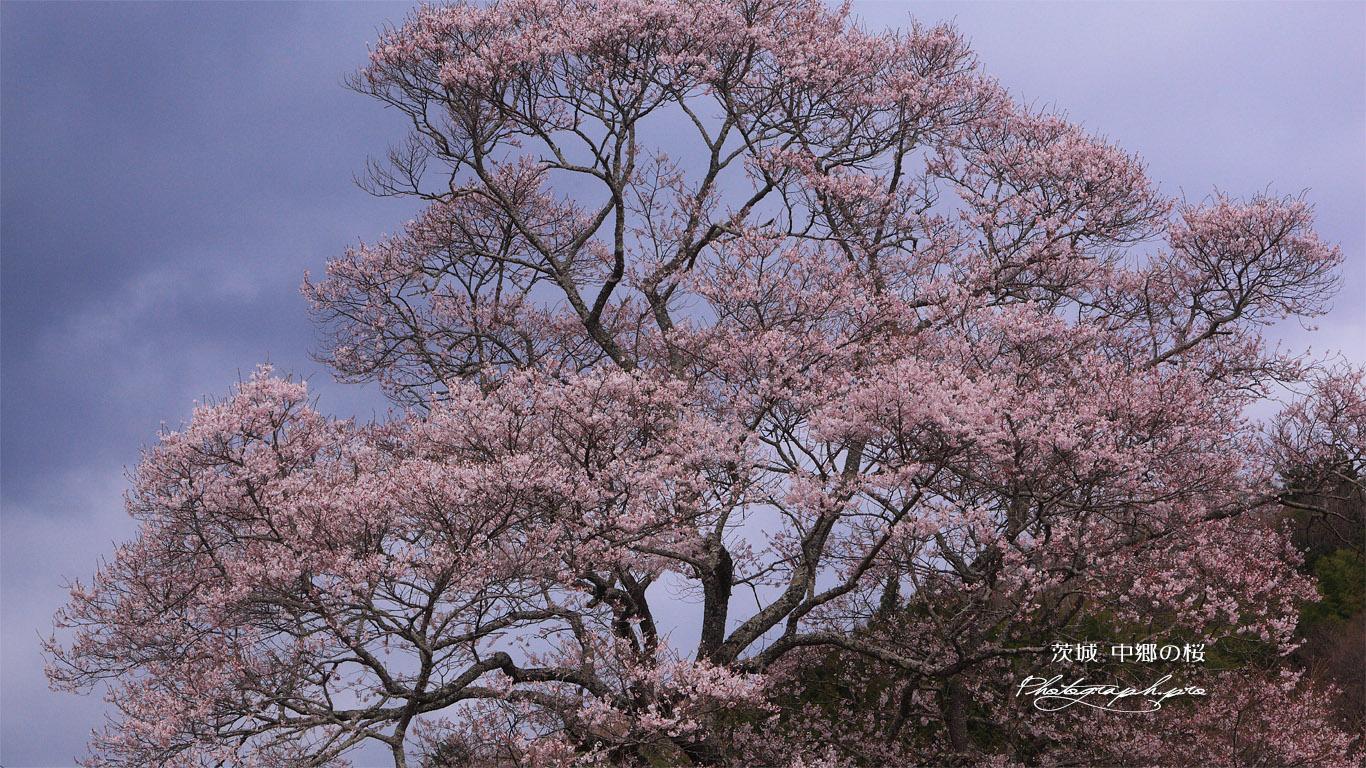 中郷の桜 壁紙