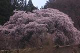 相川のしだれ桜(相川1645)