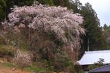 相川のしだれ桜(相川283)