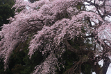 相川のしだれ桜(相川321)