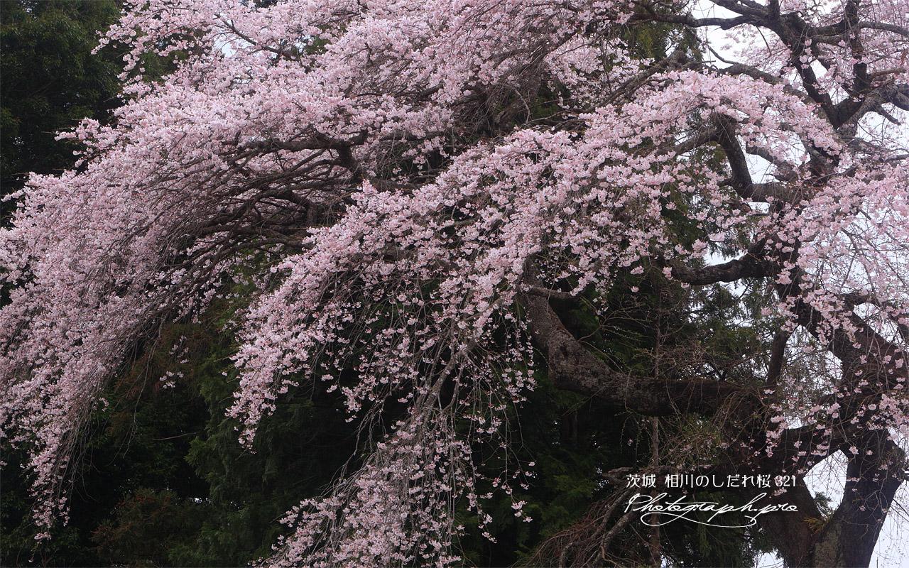 相川のしだれ桜(相川321) 壁紙