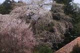 相川のしだれ桜(相川386-1)