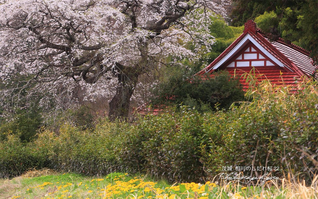 相川のしだれ桜(相川22) 壁紙