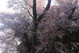 諏訪の山桜
