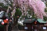 三島八幡神社のしだれ桜