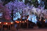 三島八幡神社の枝垂れ桜