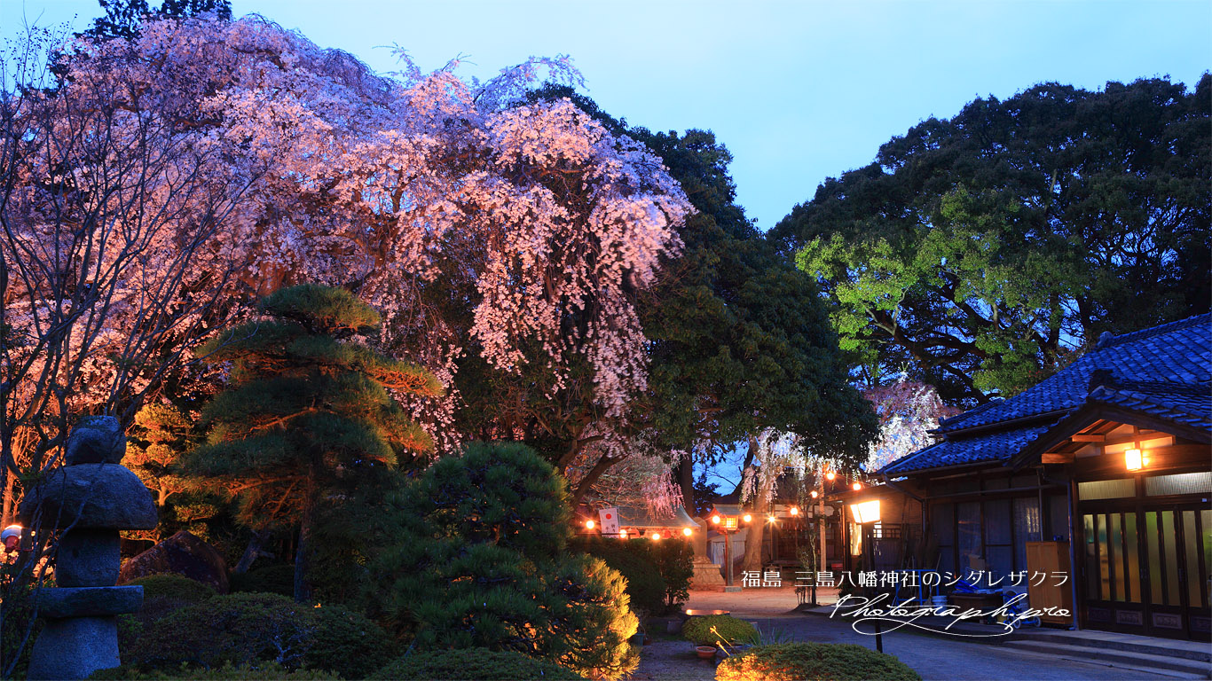 三島八幡神社の桜 壁紙