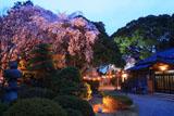 三島八幡神社の桜