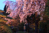 三島八幡神社の枝垂桜