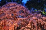 三島八幡神社のシダレザクラ