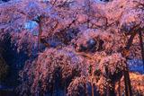 小生瀬の枝垂桜