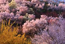 福島市の桜