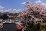 玉泉寺の桜