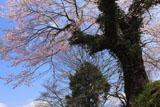 玉泉寺の江戸彼岸桜