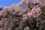 常泉寺のしだれ桜