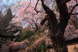 諏訪山のサクラ