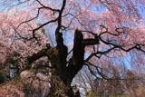 諏訪山の桜