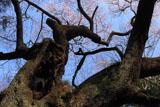 洲羽神社の江戸彼岸桜