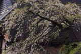 小倉寺観音の稚児桜